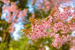 Feche acima do ramo da flor de cerejeira Fotos de Stock