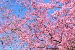 Feche acima do ramo da flor de cerejeira cor-de-rosa Imagens de Stock Royalty Free