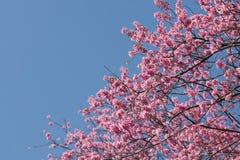 Feche acima do ramo da flor de cerejeira cor-de-rosa Foto de Stock