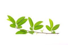 Feche acima do ramo de árvore com folha verde Imagens de Stock Royalty Free