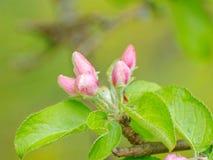 Feche acima do ramo de árvore da maçã com as flores em botão cor-de-rosa foto de stock