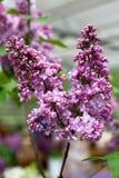 Feche acima do ramo do lilás na luz natural Imagens de Stock Royalty Free