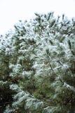 Feche acima do ramo do pinho em um dia nevando Fundo do inverno com Imagens de Stock