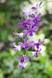 Feche acima do ramo roxo da orquídea fotos de stock royalty free