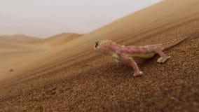 Feche acima do rangei de Palmatogecko Pachydactylus, igualmente sabido como o geco palmípede, um geco noturno endêmico ao deserto foto de stock royalty free