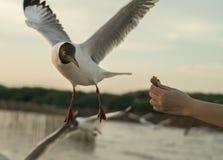 Feche acima do rebanho do voo das gaivotas Fotografia de Stock