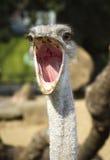 Feche acima do retrato da avestruz Imagem de Stock