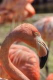 Feche acima do retrato da cabeça e do pescoço do flamingo Foto de Stock