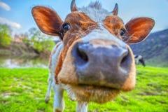 Feche acima do retrato da vaca imagem de stock