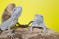 Feche acima do retrato de dragões farpados do réptil Imagens de Stock Royalty Free