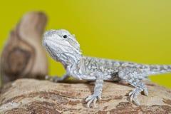 Feche acima do retrato de dragões farpados dos lagartos do réptil dos bebês Imagem de Stock