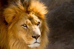 Feche acima do retrato de olhar fixamente masculino do leão Fotos de Stock Royalty Free
