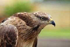 Feche acima do retrato de um falcão de Eagle fotos de stock