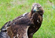 Feche acima do retrato de uma águia dourada fotografia de stock royalty free