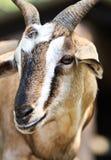 Feche acima do retrato de uma cabra Foto de Stock Royalty Free