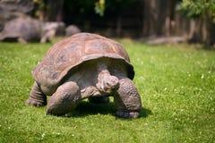 Feche acima do retrato de uma tartaruga gigante de Aldabra fotografia de stock