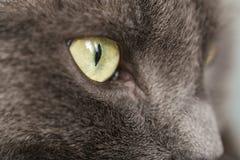Feche acima do retrato do gato britânico do shorthair Foto de Stock