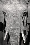 Feche acima do retrato do grande elefante africano selvagem Imagens de Stock