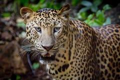 Feche acima do retrato do leopardo com olhos intensos Imagem de Stock Royalty Free