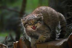 Feche acima do retrato do gatinho do manul que silva foto de stock royalty free