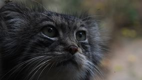 Feche acima do retrato do gato de Pallas do manul vídeos de arquivo