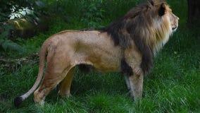 Feche acima do retrato lateral da posição masculina do leão vídeos de arquivo