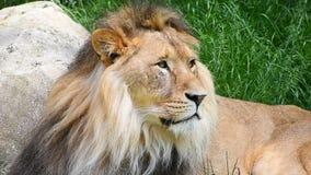 Feche acima do retrato do leão masculino video estoque