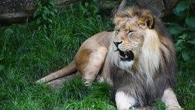 Feche acima do retrato do leão masculino que boceja vídeos de arquivo