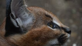 Feche acima do retrato do perfil do gatinho caracal do bebê vídeos de arquivo