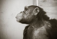 Feche acima do retrato do sentimento comum do chimpanzé triste e que pensa sobre a vida em preto e branco Imagem de Stock Royalty Free