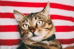 Feche acima do retrato Tabby Male Kitten Cat imagens de stock