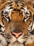 Feche acima do tigre de Bengal dos olhos penetrantes, Tailândia Imagem de Stock Royalty Free