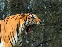 Feche acima do tigre entre a Índia e a China que ruje na frente da cachoeira fotos de stock