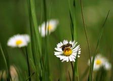Feche acima do tiro com camomilas e abelha. DOF raso Imagens de Stock Royalty Free
