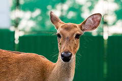 Feche acima do tiro da cabeça dos cervos do ` s de Eld fotos de stock royalty free