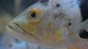 Feche acima do tiro da cabeça dos peixes video estoque
