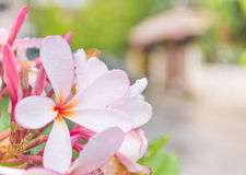 feche acima do tiro da flor do plumeria Fotografia de Stock