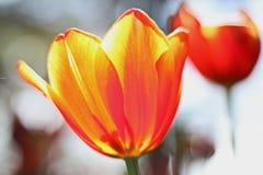Feche acima do tiro da flor da tulipa na estação de mola em Thailan Foto de Stock Royalty Free