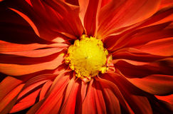 Feche acima do tiro da flor vermelha da dália imagens de stock royalty free