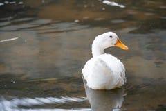 Feche acima do tiro da natação branca do pato na água do lago Pekin que americano se deriva dos pássaros trazidos ao Estados Unid foto de stock