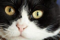 Feche acima do tiro de um gato sério fotos de stock royalty free