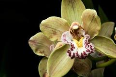 Feche acima do tiro de uma orquídea Fotos de Stock Royalty Free