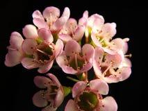 Feche acima do tiro do pulverizador de belezas das flores do rosa Foto de Stock