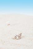 Seashell puro no Sandy Beach Imagens de Stock