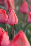 Feche acima do tiro do tulip Fotografia de Stock Royalty Free