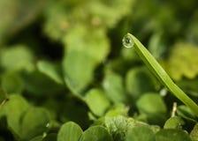 Feche acima do tiro macro de um orvalho na ponta da folha da grama aproximadamente para deixar cair na terra fotos de stock