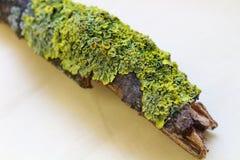 Feche acima do tiro macro do musgo e do líquene em um ramo de árvore Imagens de Stock