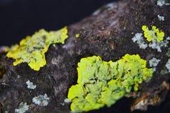 Feche acima do tiro macro do musgo e do líquene em um ramo de árvore Fotografia de Stock Royalty Free