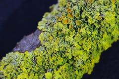 Feche acima do tiro macro do musgo e do líquene em um ramo de árvore Fotos de Stock