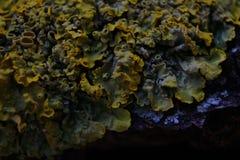 Feche acima do tiro macro do musgo e do líquene em um ramo de árvore Fotografia de Stock